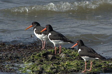 Oystercatchers - Date Taken 10 Jun 2006