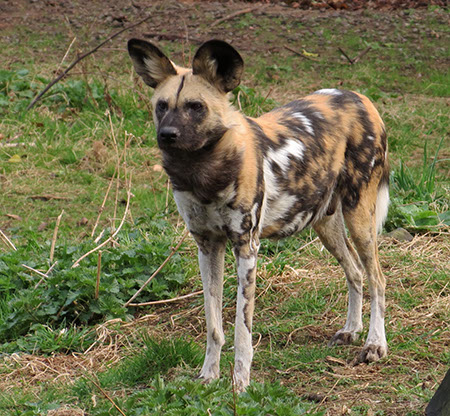 Painted Dog - Date Taken 31 Mar 2012