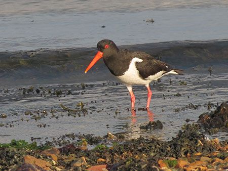 Oystercatcher - Date Taken 19 Jul 2012