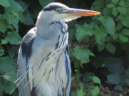 Grey Heron - Date Taken 18 Aug 2012
