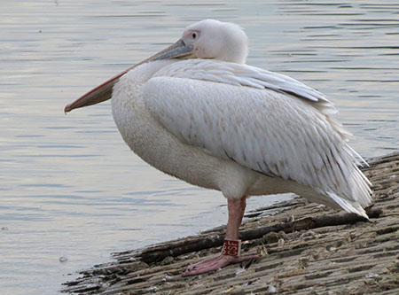 Pelican at Fairlands Aug 2012 - Date Taken 31 Aug 2012