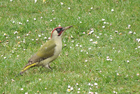Green Woodpecker - Fairlands - Date Taken 22 Apr 2014