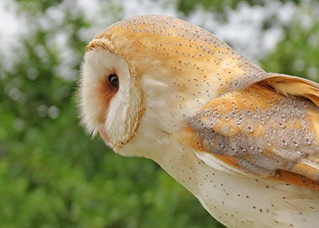 Barn Owl - Date Taken 26 May 2014