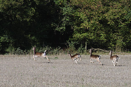 Fallow Deer - Date Taken 17 Oct 2010