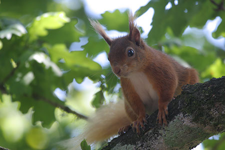 Red Squirrel - Date Taken 13 Jun 2011