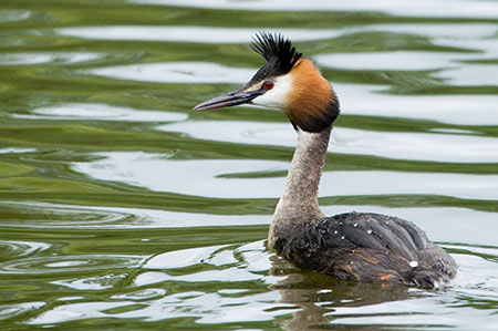 Great Crested Grebe - Date Taken 21 May 2006